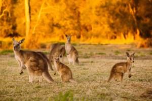 Herd of kangaroos at twilight
