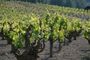 Old Vines Sonoma
