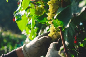 Harvest of bunch of chardonnay grapes