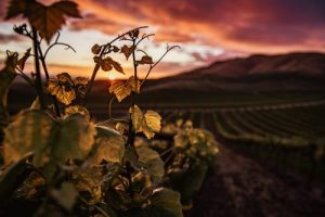 Tracking Down the World's Oldest Grapevine
