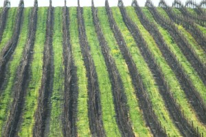 January in the Vineyard: A Time for Vine 'Maintenance'