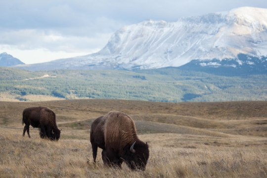 Bison with Mountain Landscape