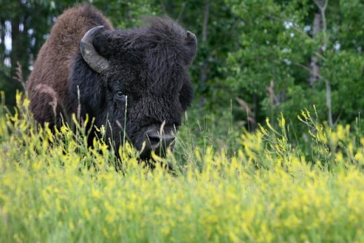 Bison in Tall Grass