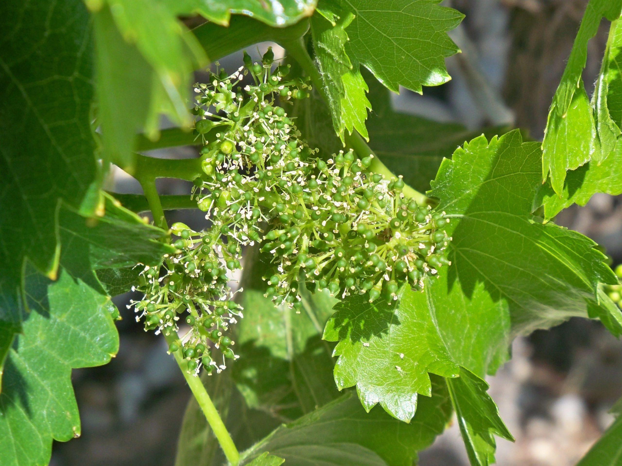 Floraison de la vigne