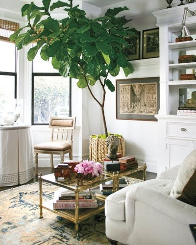 Interior by Grant K Gibson with a huge Fiddle Fig - via Stroke of Luxe