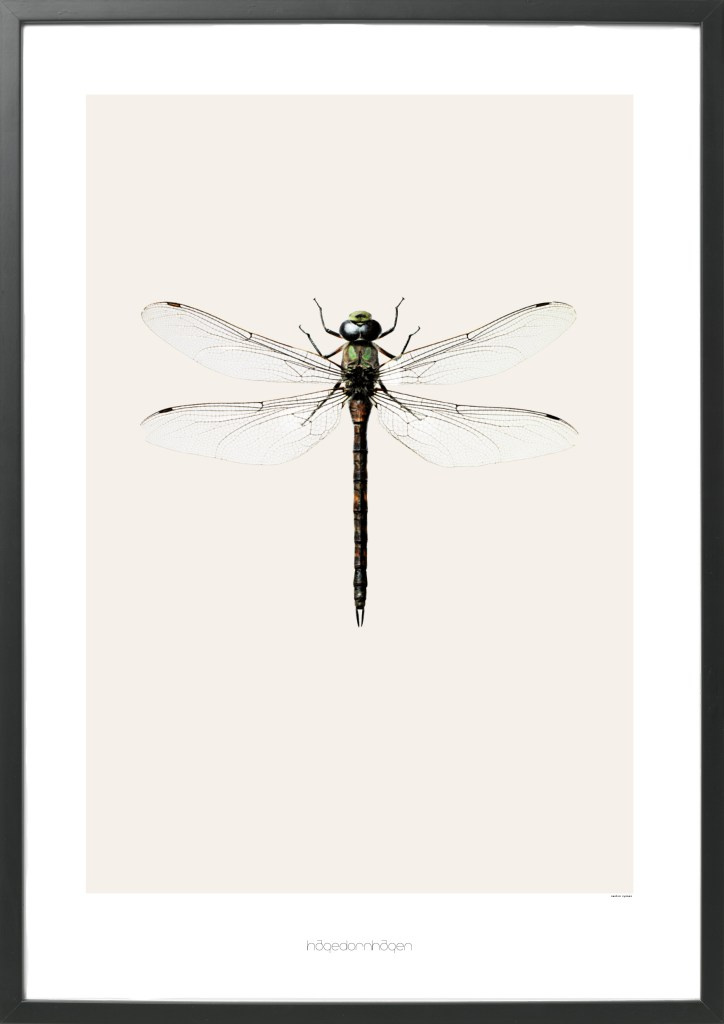 This artprint has the impossible name of Aeshna cyanea
