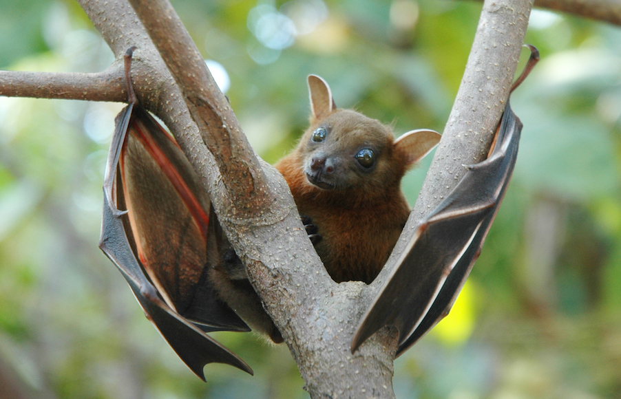 Greater short-nosed fruit bat (Cynopterus sphinx)