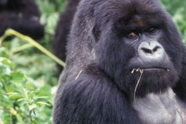 banner1.mountain.gorilla.1400x410 Volunteer in Uganda | The Ultimate Guide