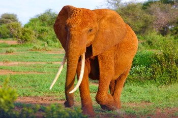 elephant 350x233 Volunteer in Wildlife Conservation | The Ultimate Guide