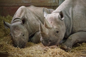 rhino 350x233 Volunteer in Wildlife Conservation | The Ultimate Guide