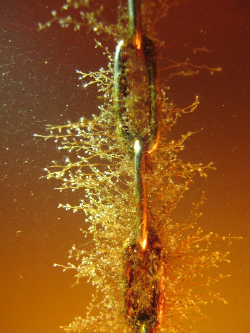 Some polyps on a buyoy chain. (Photo: Metsähallitus / Janos Honkonen)