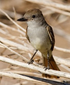 The Brown-Crested Flycatcher.