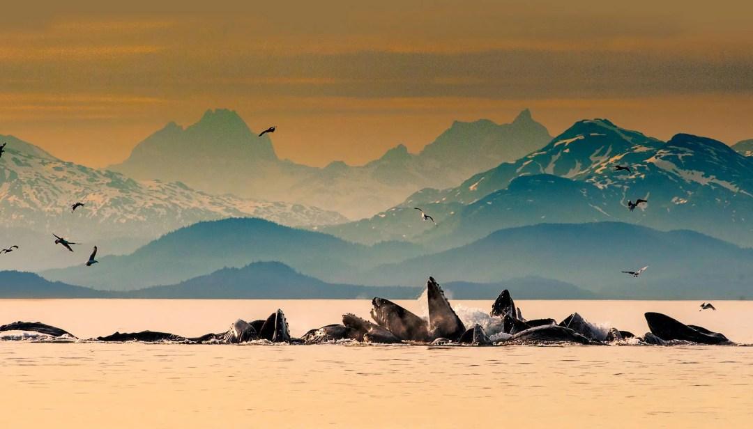 Humpback whales group gulp-feeding in Auke Bay near Juneau, Alaska