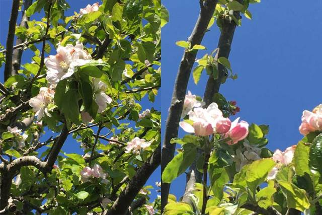 Apple blossom on our tree