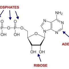 Diagram Of The Atp Molecule Allen Bradley Reversing Starter Wiring Ribose Creates  Energy Dr Bob Mccauley 39s Health Blog