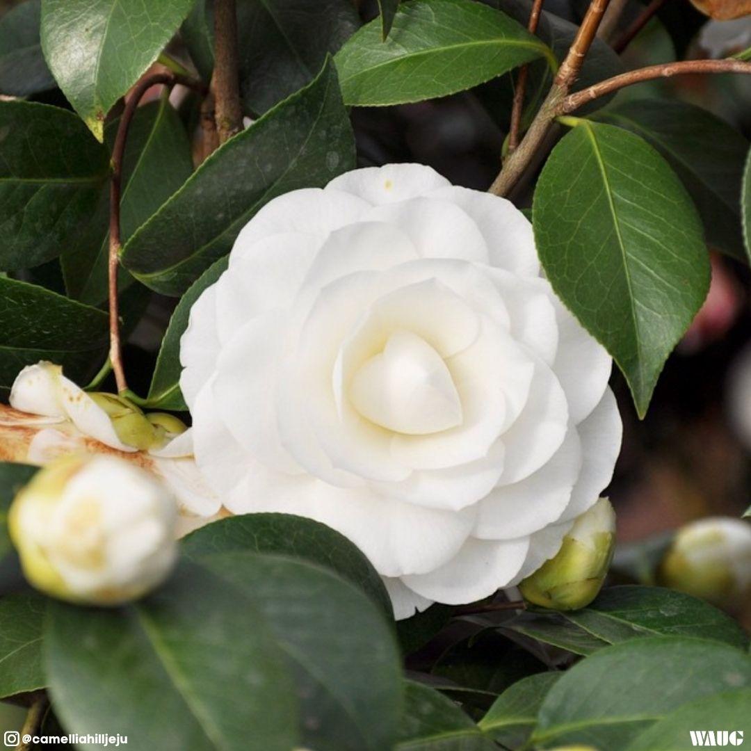 Camellia-hill-jeju-entrance-fee