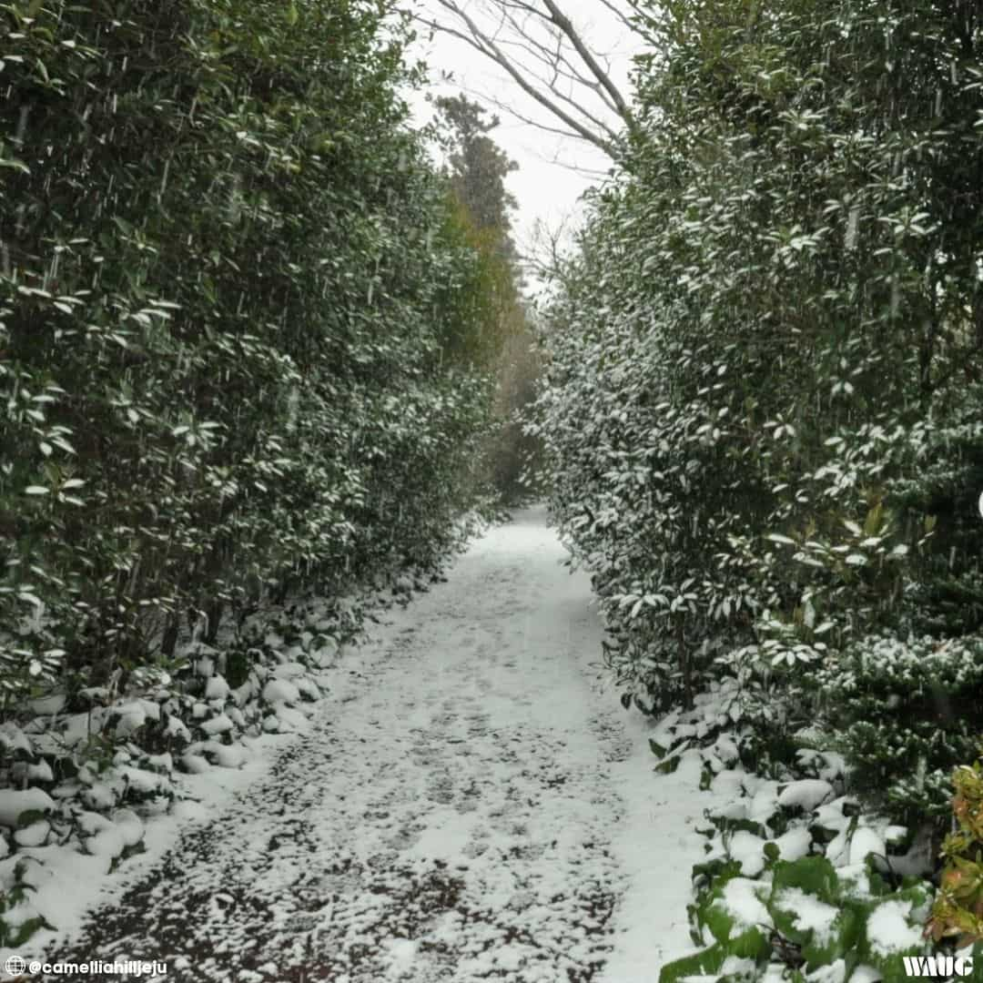 camellia-hill-jeju-winter