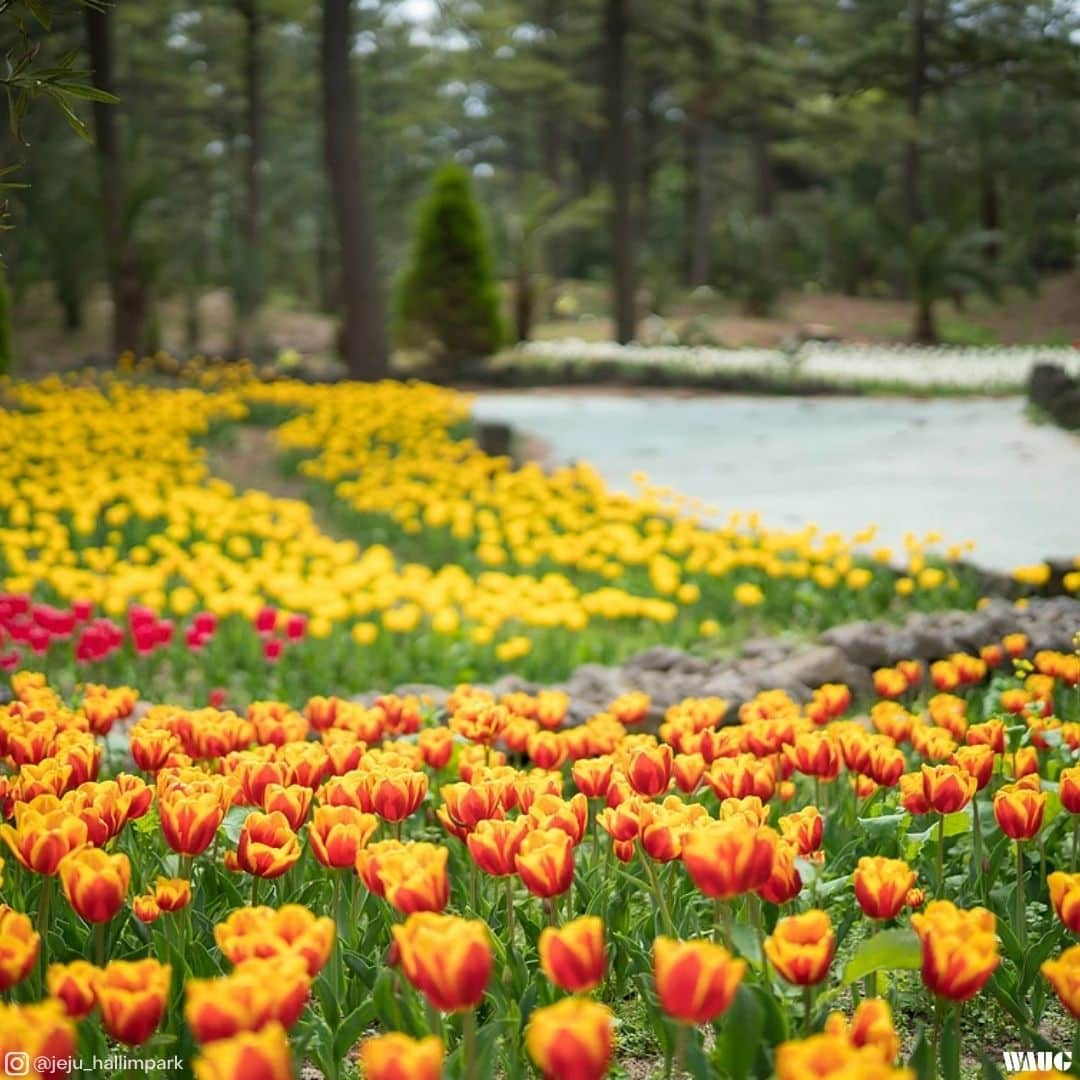 Hallim park tulip festival