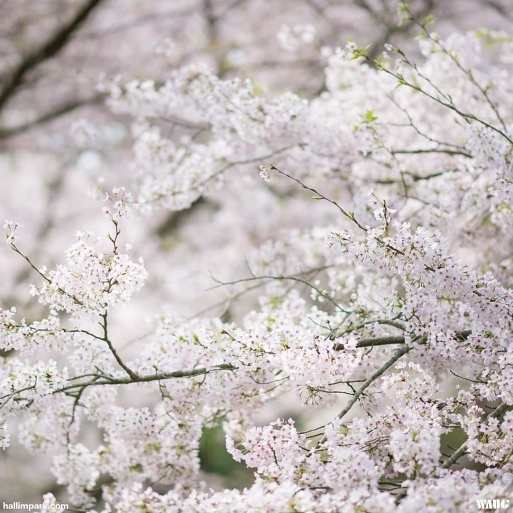 cherry-blossoms-jeju-island-2021