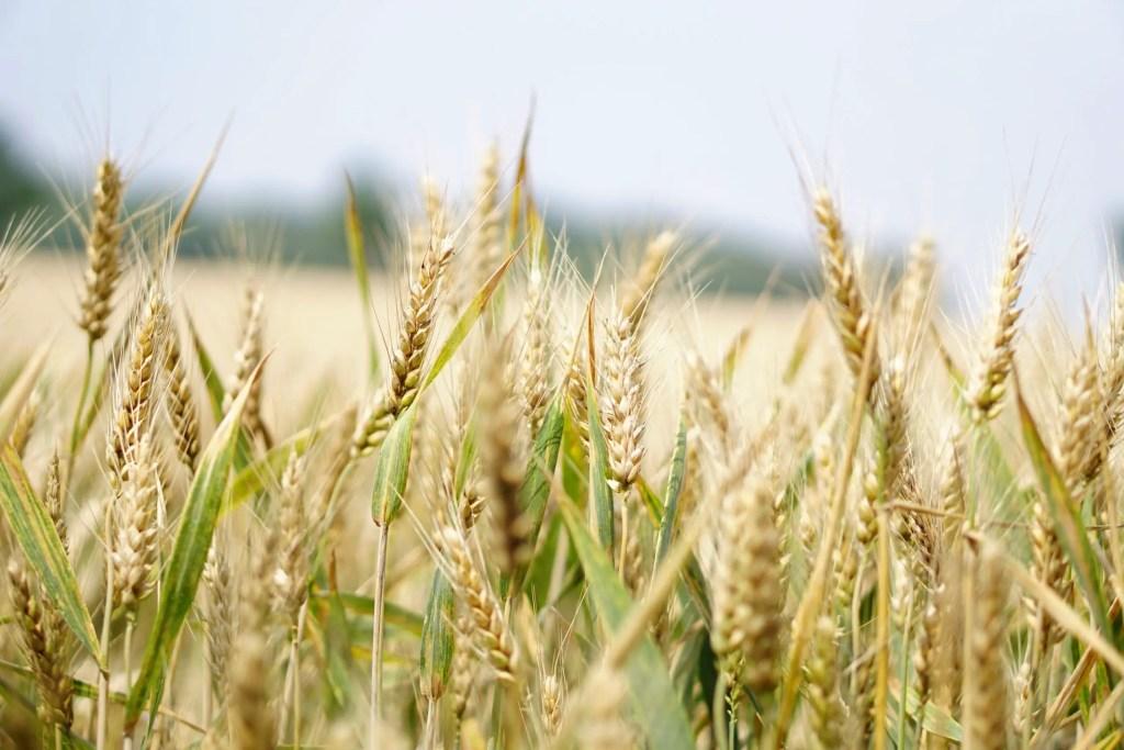 whole wheat to make flour