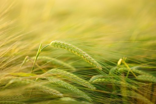 barley as whole grain option for weight loss