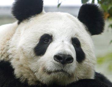 Hopes Soar in Scotland: Edinburgh Zoo Panda May Be Pregnant