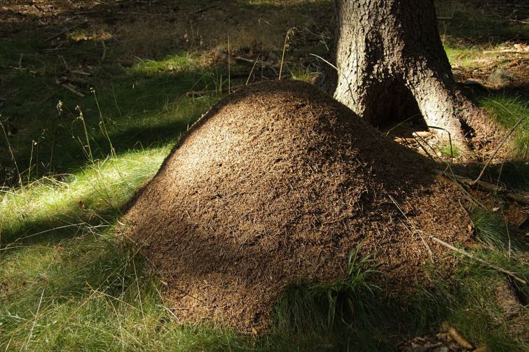 Anthill_in_natural_monument_Poust_in_2011