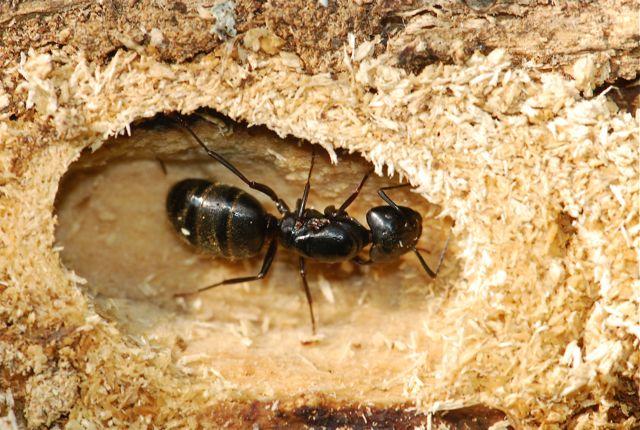 Columbus Ohio Carpenter Ant