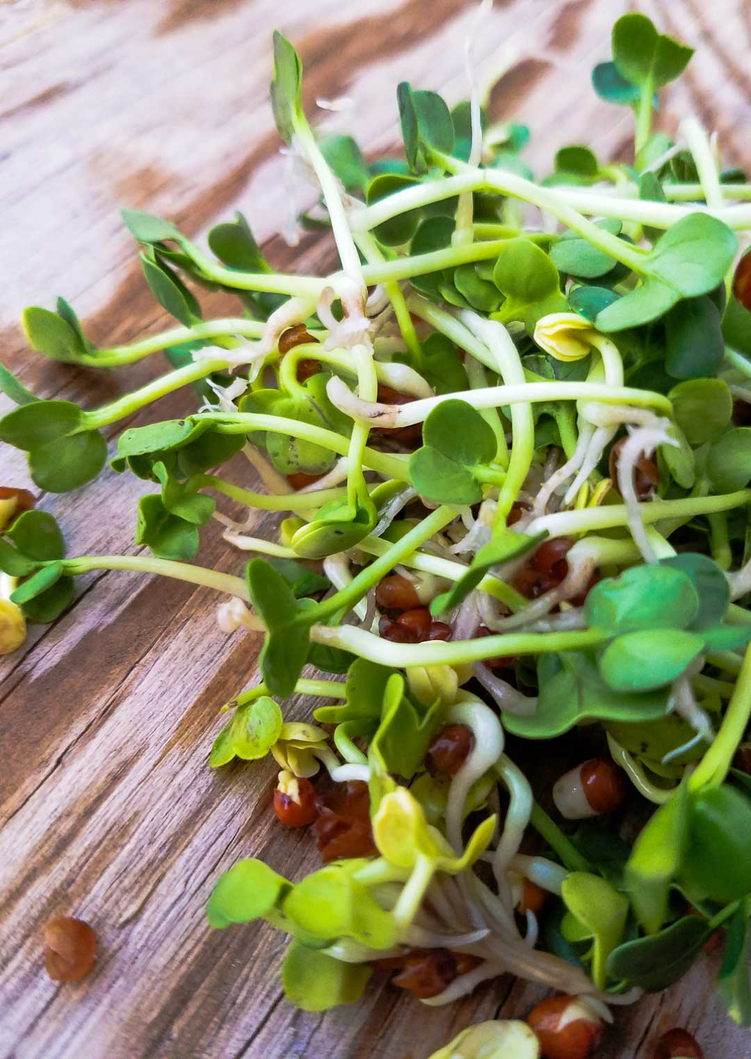 How To Sprout Radish Seeds   My mother called them mermaid hair... We never had a shortage of mermaid hair (aka alfalfa sprouts) in the fridge. Sprouts, essentially a micro-green, are insanely nutritious. Learn to grow your own, and you never have to be without healthy greens!   WildernessFamilyNaturals.com