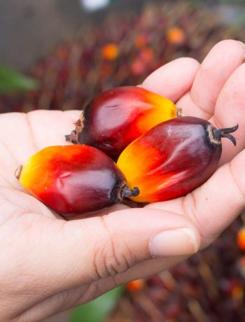 The Environmental Impacts Of Palm Oil Production | Palm oil is the most widely consumed plant-based oil in the world, yet its popularity has spurred a rapid increase in monoculture plantations, deforestation, cheap labor, and species endangerment. Is sustainable palm oil possible? | WildernessFamilyNaturals.com