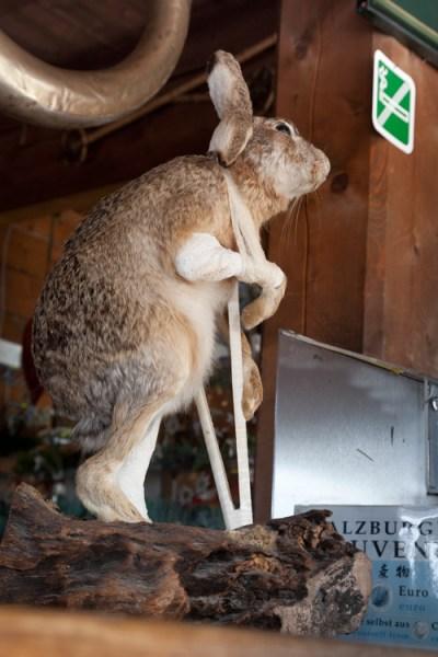 Großglockner -Hase: Hals und Beinbruch