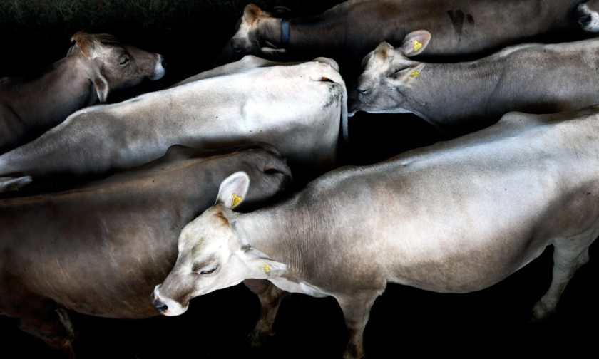 Kühe Metzler naturhautnah
