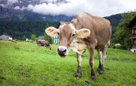 Kuh in Bizau