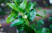 Blüte - Zitrusgarten – Faak am See