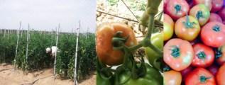 戶外的牛番茄