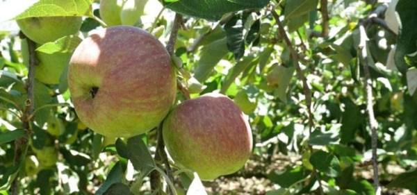 蜜蘋果醋1