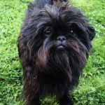 Wednesday Cute: Our Favorite Toy Dog Breeds
