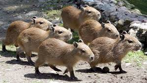 Multiple Baby Capybaras