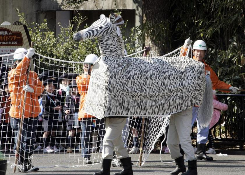 79847441-zoo-staffs-spread-a-net-to-catch-a-fake-zebra-which-made-jpg-crop-promo-large2