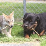 UNLIKELY FRIENDSHIPS: The Rottweiler and the Wolf Pup