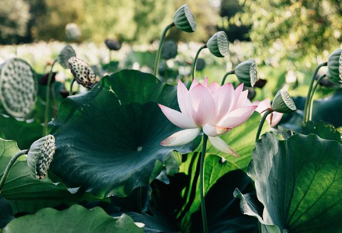 The chinese kitchen gardens vegetarian lotus root stir fry lotus root stir fry mightylinksfo