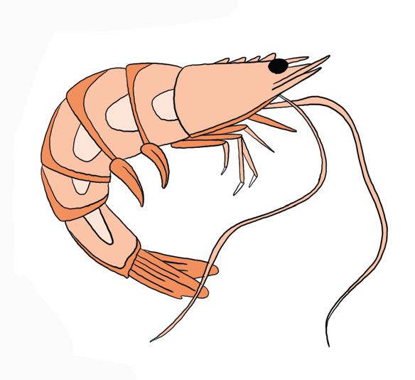drawing of a shrimp to symbolize shrimp farming slavery