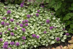 Lamium Maculatum Purple Dragon