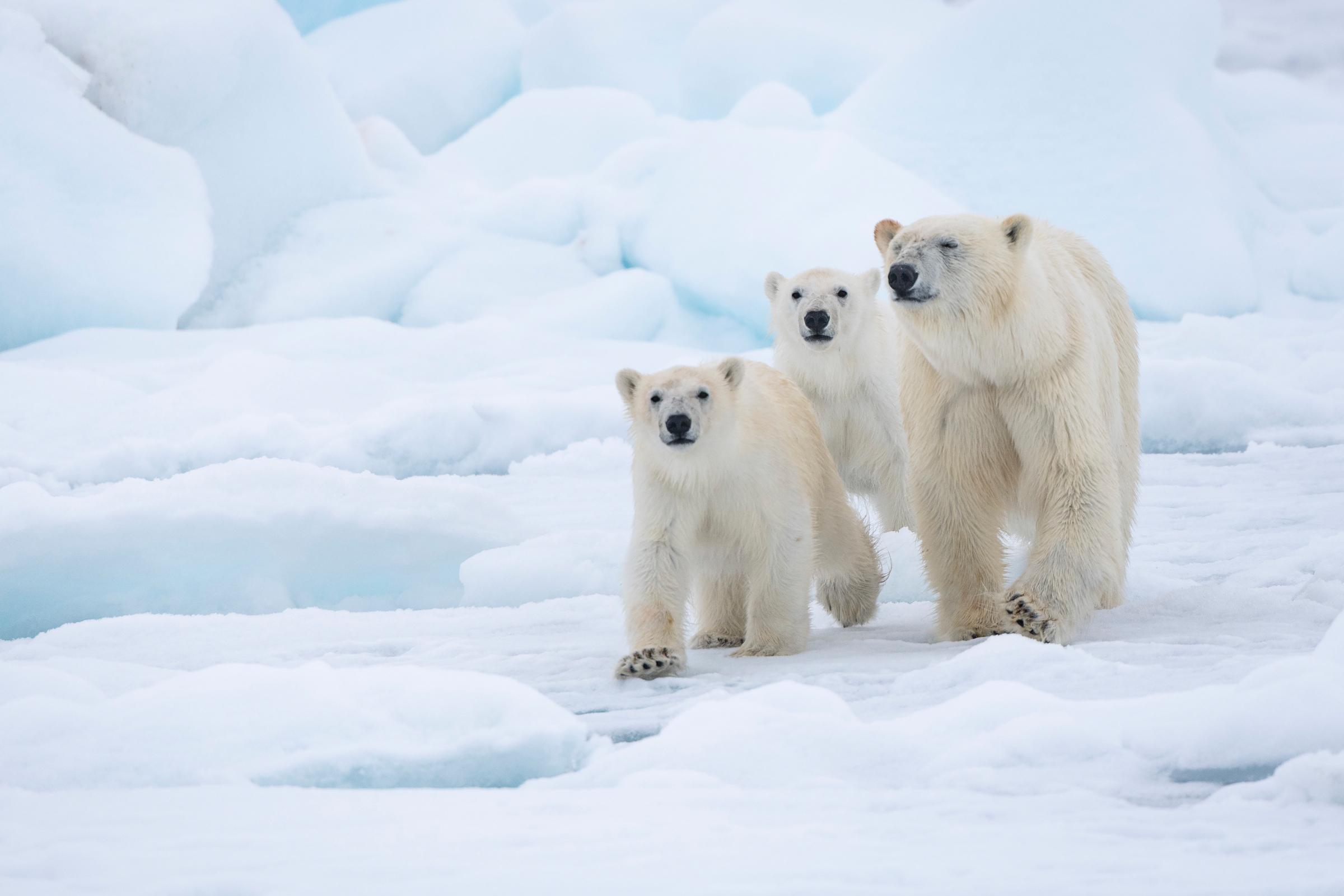 4 Arctic Species That Depend On Ice