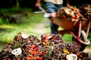 Harvesting oil palm. The palm fruit is numbered so that any problems with the harvest can be traced. Musim Mas, Sumatra.