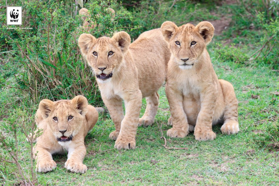 Lion cubs in the Maasai Mara National Reserve in Kenya