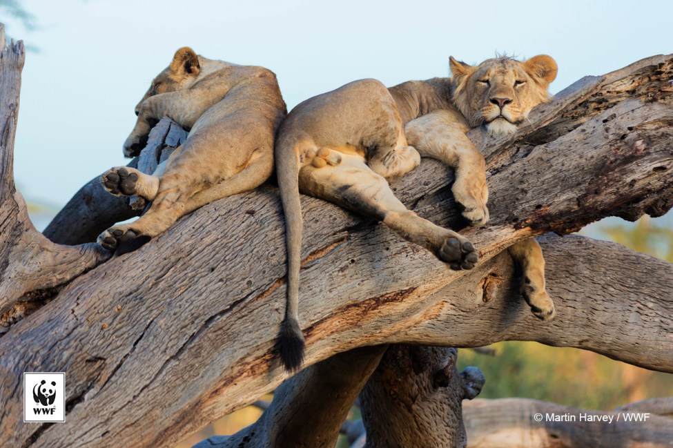 Young male lions sleeping on a dead tree.