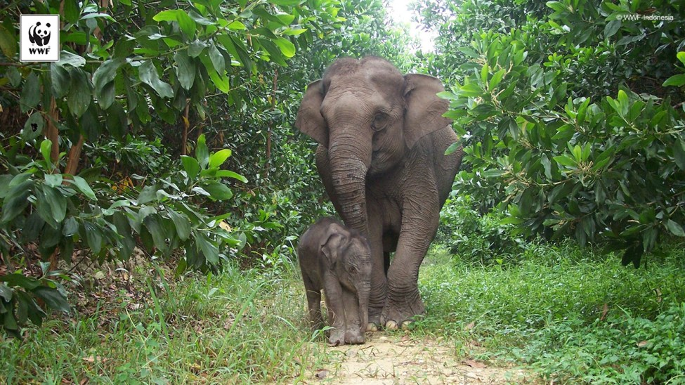 Sumatran elephant calf Lisa and its mother from Tesso Nilo National Park, Riau, Indonesia.