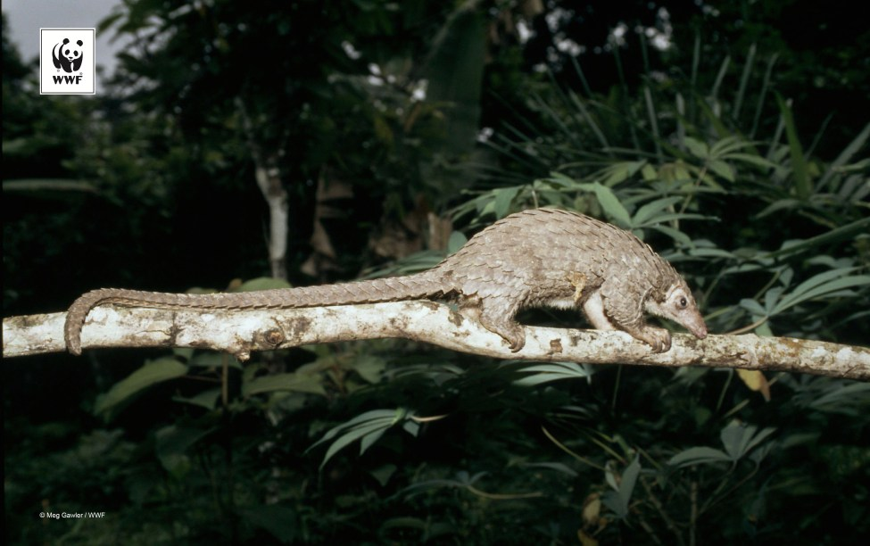 Manis tetradactyla Long-tailed pangolin Heavily hunted despite legal protection Minkébé National Park, Gabon