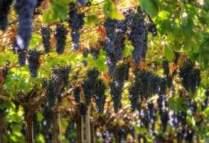 Grapes_growing_in_Valpolicella